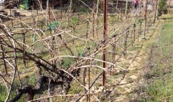 Springtime Pruning: The Hoot n' Annie Team
